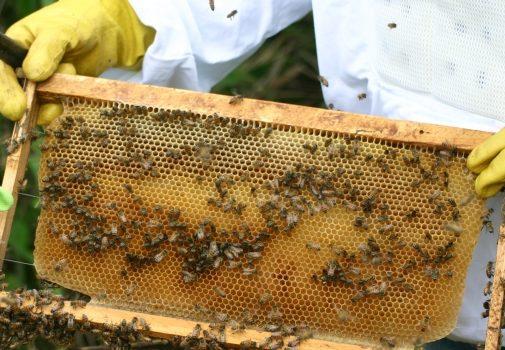 ツマアカスズメバチによる被害