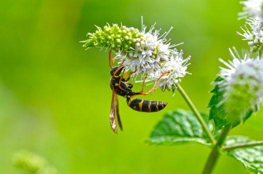 アシナガバチにはどんな種類がいるの?生態から駆除法まで情報まとめ