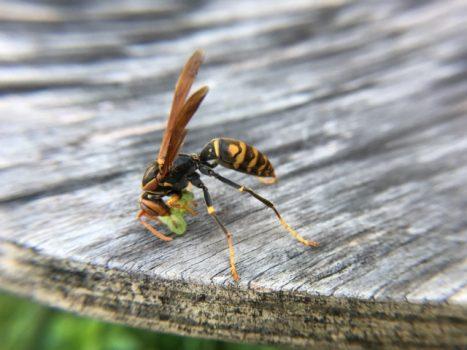 本当はこわくない?アシナガバチの生態と危険性について