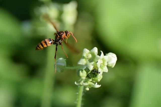 ヤマトアシナガバチの生態とは?巣に対する正しい対処法